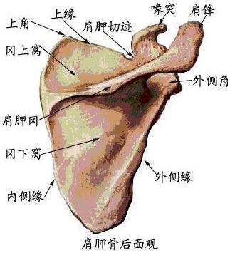 (1)肩胛骨:呈三角形,分两面