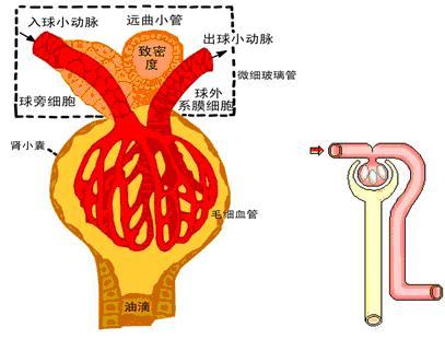 肾组织的结构模式图