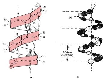 蛋白质的一级结构