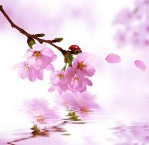 桃树开满了粉红色的桃花,树下落满了粉红色的花瓣.